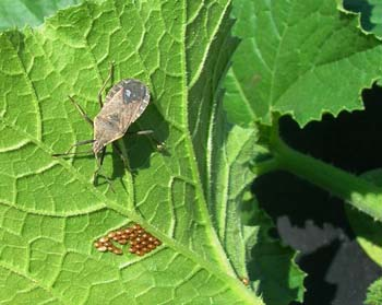 When squash bugs attack everything is homemade - Identifying insect eggs in the garden ...