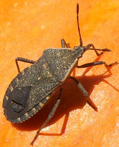 Gray Bugs On My Pumpkins : When squash bugs attack everything is homemade
